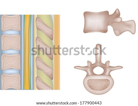Human spine, vertebral bones and  inter-vertebral disks. Medical illustration. Isolated on a white background. - stock photo