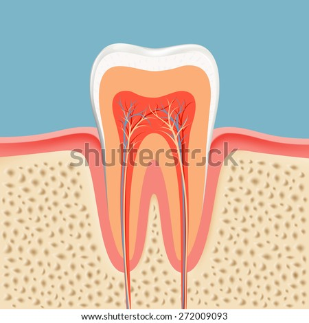human tooth in a cut - stock photo