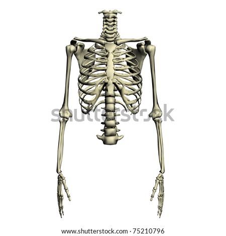 human torso skeletal system - stock photo