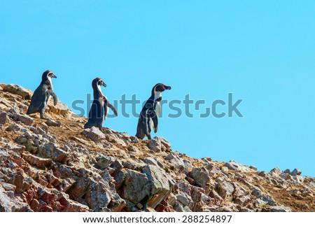 Humbold Penguins in Paracas , Peru - stock photo
