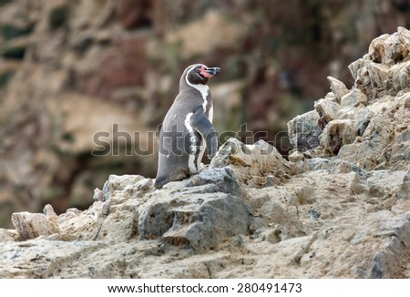 Humboldt Penguin stand on the rocky shoreline of the island Ballestas in Paracas national park. It is a designated UNESCO World Heritage Site - Peru, South America - stock photo