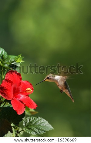 Humming Bird Feeding Portrait - stock photo