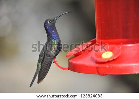 Humming birds feeding on pure nectar in Costa Rica - stock photo