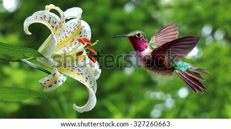 Hummingbird (archilochus colubris) hovering next to lily flowers panoramic view  - stock photo