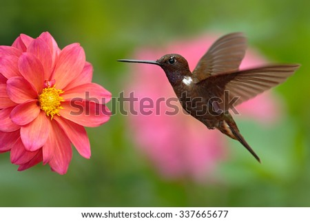 Hummingbird Brown Inca, Coeligena wilsoni, flying next to beautiful pink flower, pink bloom in background, Colombia - stock photo