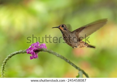 Hummingbird Brown Violet-ear, Colibri delphinae, flying next to beautiful pink flower, nice flowered orange green background, Costa Rica  - stock photo