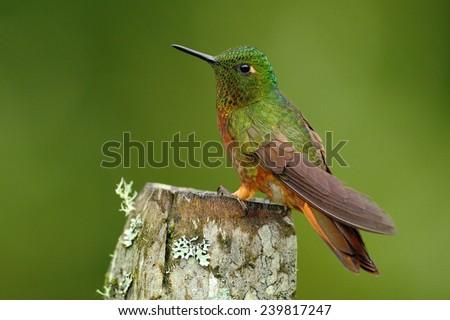 Hummingbird Chestnut-breasted sitting on lichen stump - stock photo