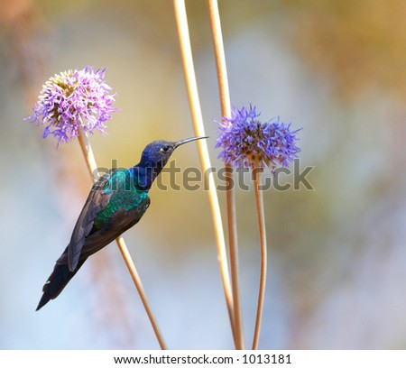 Hummingbird feeding on the flower 2 - stock photo