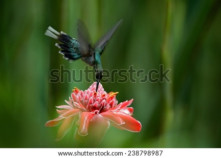 Hummingbird Green Hermit flying next to beautiful pink flower with green forest background - stock photo