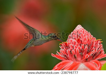 Hummingbird Green Hermit flying next to beautiful pink flower with pink and green forest background - stock photo