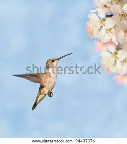 Hummingbird hovering close to spring flowers against dreamy blue background - stock photo