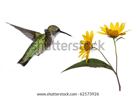 hummingbird hovers near a sunflower as it prepares to eat its fruits; white background - stock photo