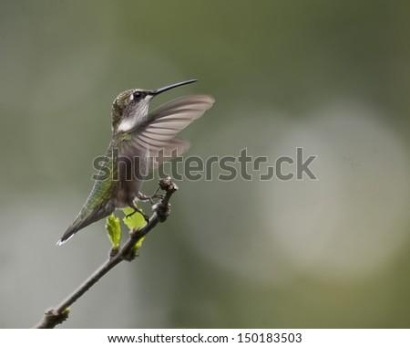 Hummingbird Landing on a Branch  - stock photo