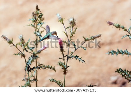 Hummingbird on flower Arizona thistle  (Cirsium arizonicum). Bryce Canyon National Park, Utah, United States - stock photo