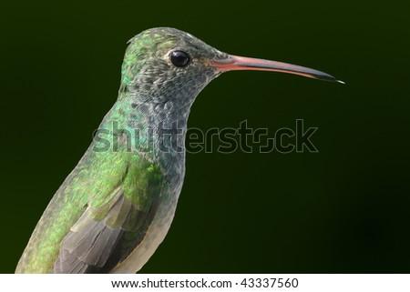 Hummingbird Profile - stock photo