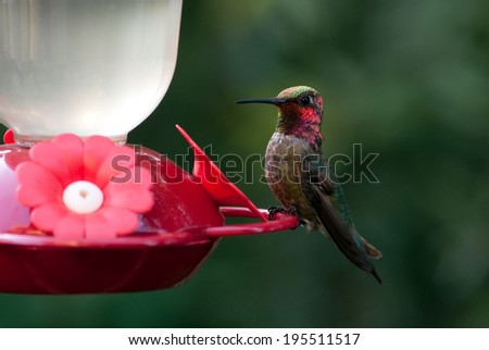 Hummingbird Resting II - stock photo