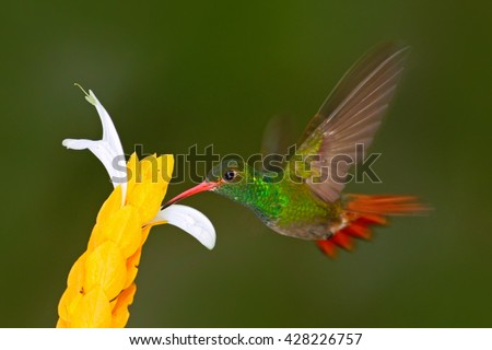 Hummingbird Rufous-tailed Hummingbird. Hummingbird with clear green background in Ecuador. Hummingbird in the nature habitat. Hummingbird flying next to beautiful yellow flower in tropic forest. - stock photo
