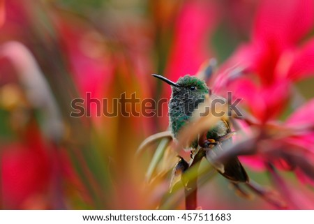 Hummingbird sitting in red flower with green bloom background, Tandayapa, Ecuador. Exotic tropic bird with red flower bloom. Hummingbird in the nature red habitat. Wildlife scene from tropic forest. - stock photo