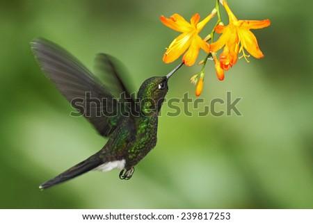 Hummingbird Tourmaline Sunangel eating nectar from beautiful yellow flower in Ecuador - stock photo