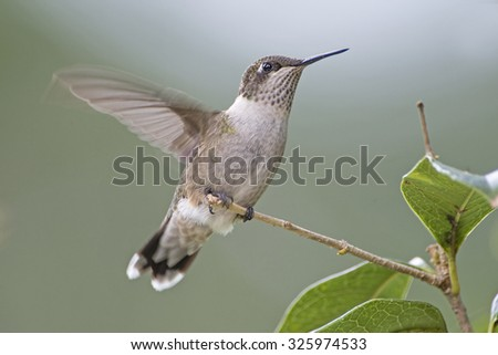 Hummingbird with Fluttering Wing - stock photo