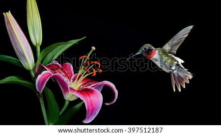 Hummingbird with tropical Lily flower over black background - stock photo