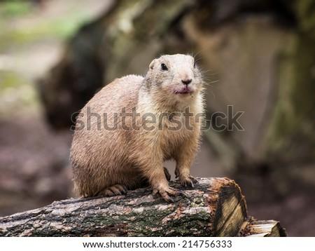 Humorous Black-tailed prairie dog (Cynomys ludovicianus) watching his surroundings. - stock photo