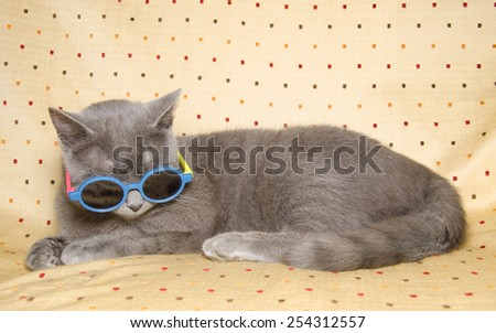 humorous image of a chartreux cat with sunglasses - stock photo