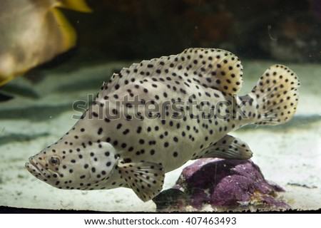 Humpback grouper (Cromileptes altivelis), also known as the panther grouper. Wild life animal.  - stock photo