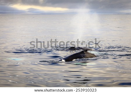 Humpback whale blowing water in the Skjalfandi Bay in Northern Iceland - stock photo
