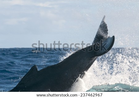 Humpback whale breaching and jumping in blue polynesian sea - stock photo
