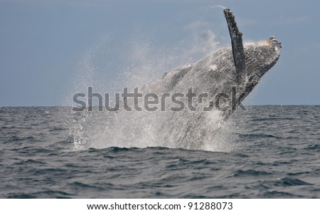 humpback whale breaching out of the water - stock photo
