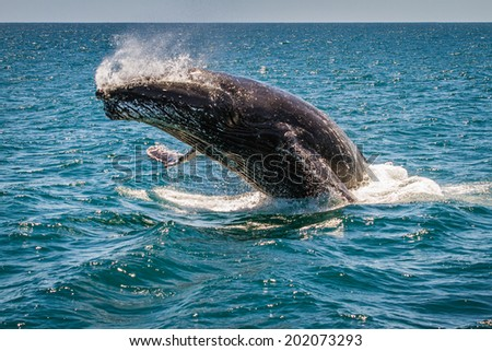 Humpback Whale Breaching, Western Australia, 5 of 7 - stock photo