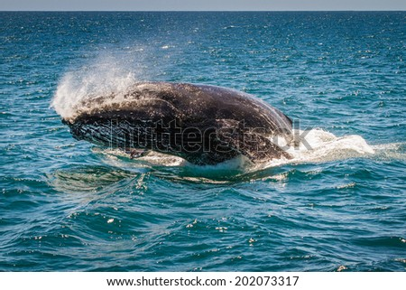 Humpback Whale Breaching, Western Australia, 6 of 7 - stock photo