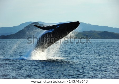 Humpback Whale breaching, Whitsundays,Australia - stock photo