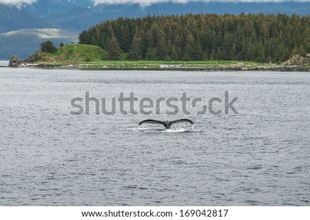Humpback whale diving in front of the trees - stock photo