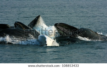 humpback whale feeding group with jumping herring, Inside Passage, Alaska - stock photo