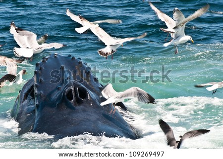 Humpback Whale Feeding (Megaptera novaeangliae) - stock photo