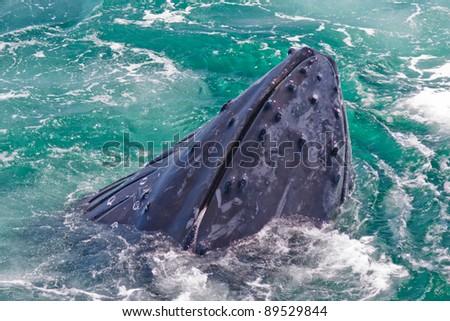 Humpback whale feeding off Stellwagen Bank - stock photo