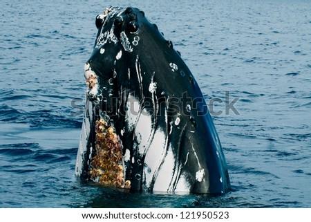 Humpback whale head close up very near you in deep blue polynesian ocean - stock photo