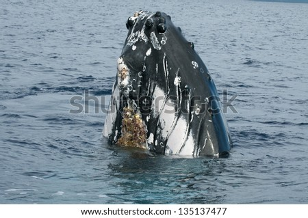 Humpback whale head coming up in deep blue polynesian ocean - stock photo