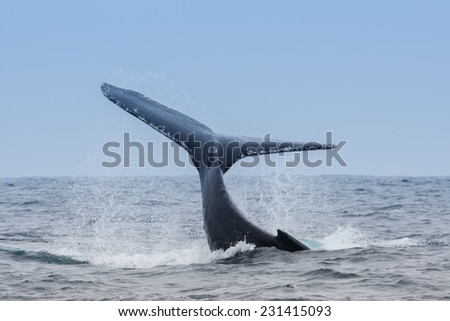 Humpback Whale in Puerto Lopez, Ecuador - stock photo