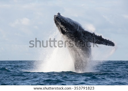 Humpback whale jump. Madagascar. The water area of the island of St. Mary. - stock photo