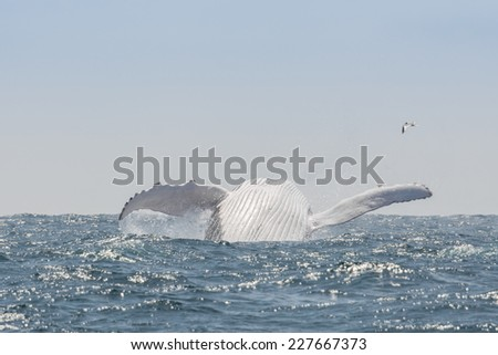 Humpback Whale jumping in Puerto Lopez, Ecuador - stock photo
