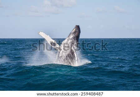 humpback whale jumping, Samana/Dominican Republic - stock photo
