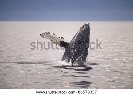 Humpback whale (Megaptera novaeangliae) breaching, Frederick Sound, Southeast Alaska's Alexander Archipelago. - stock photo