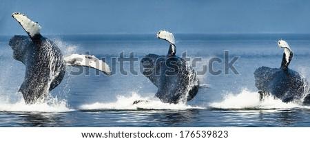 Humpback Whale, Megaptera novaeangliae, breaching in display, coastal Alaska, United States. Composite Image of breaching sequence. - stock photo