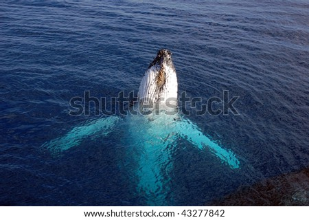 Humpback whale on its back reaching out of the ocean - stock photo