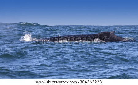 Humpback whale's dorsal fin visible off the coast of Knysna, South Africa - stock photo