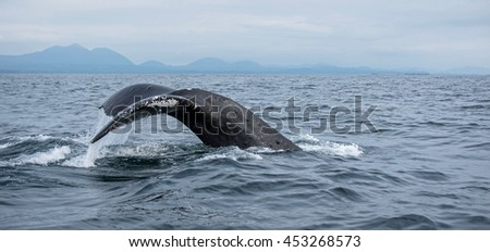 Humpback whale shows its fluke as it begins a dive - stock photo