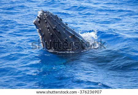 Humpback whale spyhopping at the surface to take a look around - stock photo